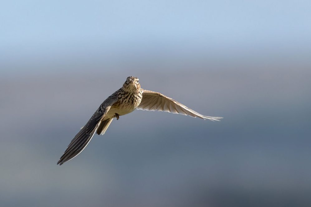 Lark Ascending © Mark Sturton